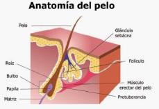 anatomia del pelo